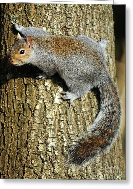 Eastern Grey Squirrel Greeting Cards - Grey Squirrel On A Tree Greeting Card by Colin Varndell