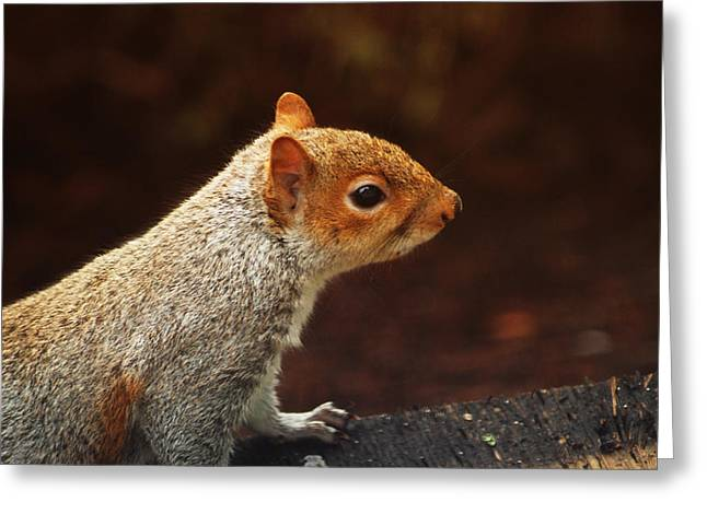 Ron Roberts Photography Prints Greeting Cards - Grey squirrel Greeting Card by Ron Roberts