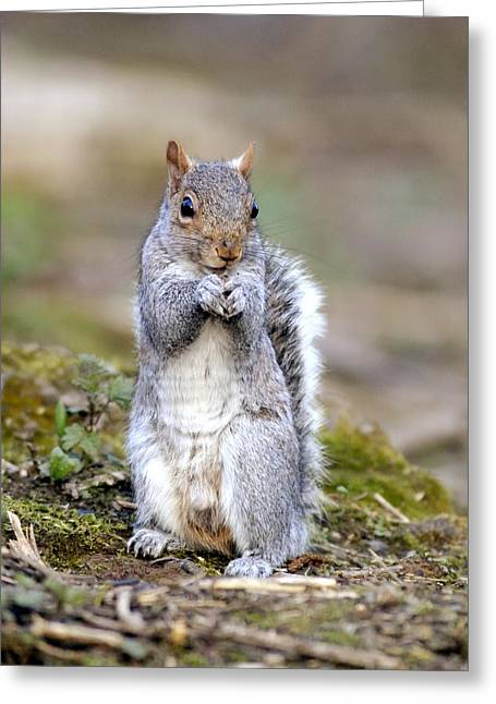 Sciurus Carolinensis Greeting Cards - Grey Squirrel Greeting Card by Science Photo Library
