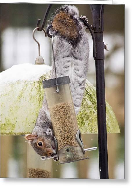Grey Squirrel (sciurus Carolinensis) Greeting Card by Ashley Cooper