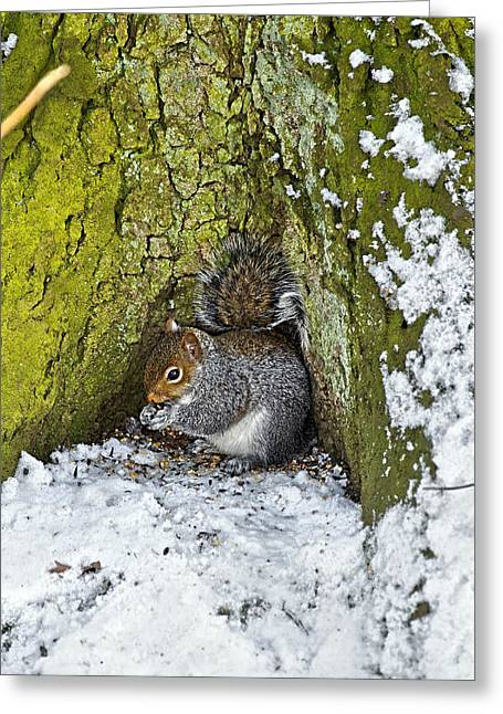 England Greeting Cards - Grey Squirrel with its Food Store Greeting Card by Rod Johnson