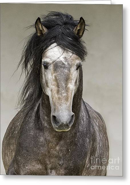 Andalusian Greeting Cards - Grey Stallion Runs Head On Greeting Card by Carol Walker