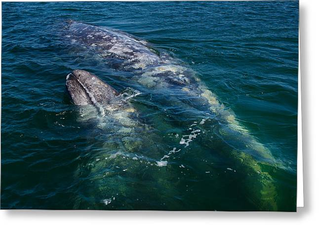 Guerrero Negro Greeting Cards - Grey Whales Greeting Card by Kenny Viese