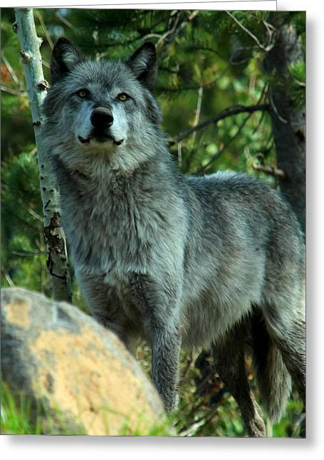 Wolves In Nature Greeting Cards - Grey Wolf  Greeting Card by Aidan Moran