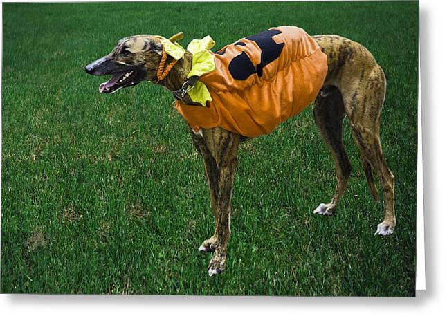 Greyhound Dog Greeting Cards - Greyhound Dog Costumed Greeting Card by Sally Weigand