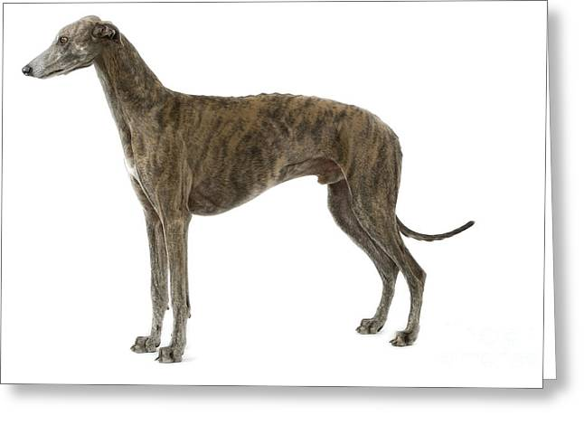 Greyhound Dog Greeting Cards - Greyhound Greeting Card by Jean-Michel Labat