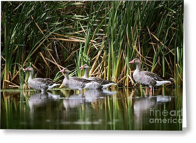 Greylag Greeting Cards - Greylag Geese Greeting Card by Art Wolfe