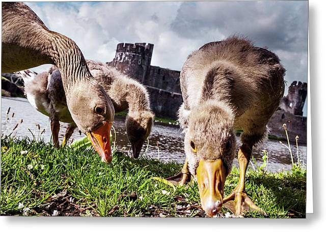 Greylag Geese Grazing Greeting Card by Paul Williams