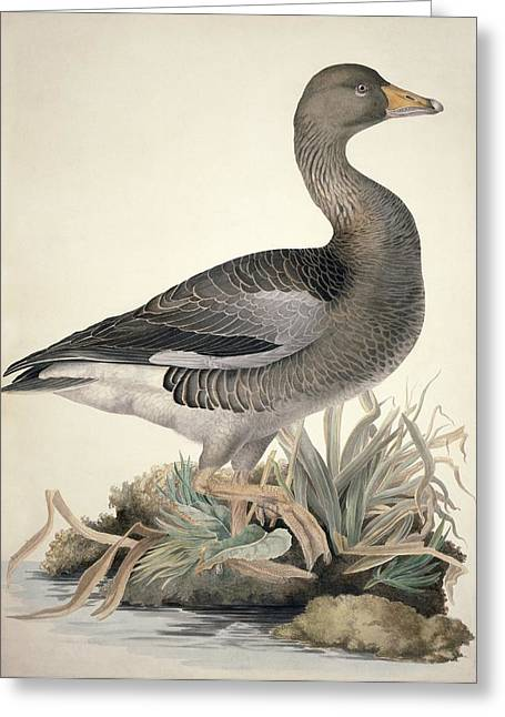 Greylag Greeting Cards - Greylag goose, 19th century Greeting Card by Science Photo Library