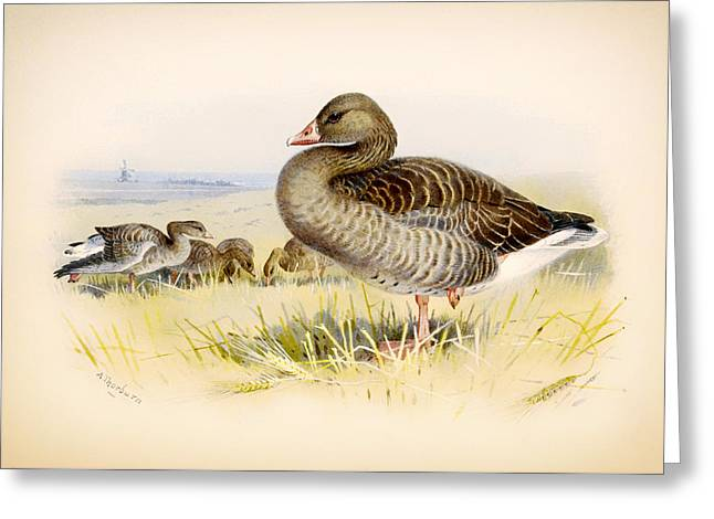 Greylag Greeting Cards - Greylag Goose Greeting Card by Archibald Thorburn