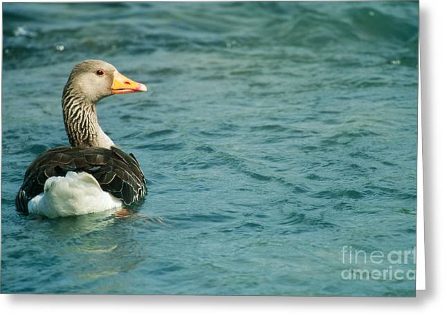 Greylag Greeting Cards - Greylag Goose Greeting Card by Art Wolfe