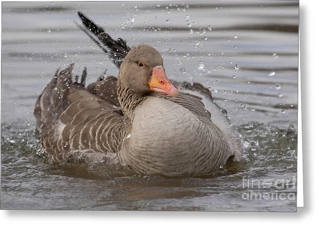 Greylag Greeting Cards - Greylag Goose Bathing Greeting Card by Jens C. Schmitz