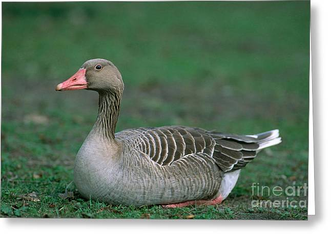 Greylag Greeting Cards - Greylag Goose Greeting Card by Christian Grzimek