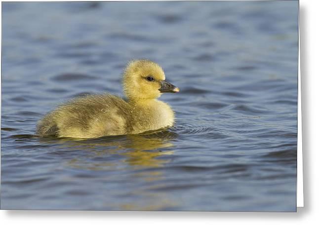 Greylag Goose Gosling Zeeland Greeting Card by Sytze Jongma