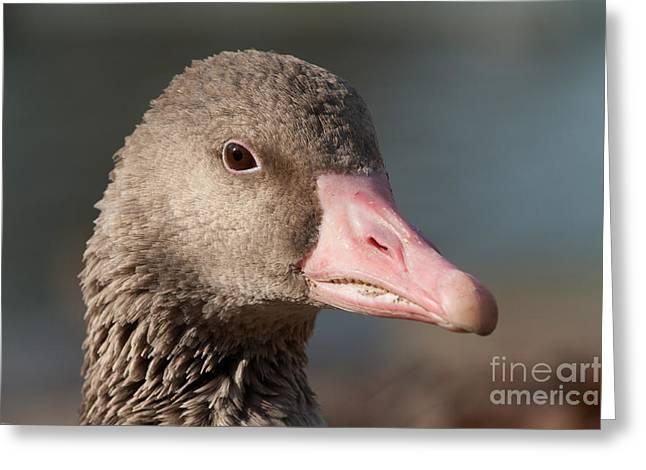 Greylag Greeting Cards - Greylag Goose Greeting Card by Thomas Gehrke