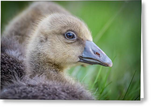 Gosling Greeting Cards - Greylag Goslings, Iceland Greeting Card by Panoramic Images