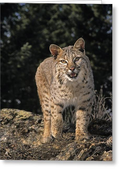 Bobcats Greeting Cards - G&r.grambo Mm-00006-00275, Bobcat On Greeting Card by Rebecca Grambo