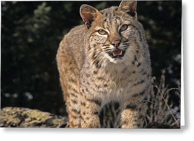 G&r.grambo Mm-00006-00275, Bobcat On Greeting Card by Rebecca Grambo