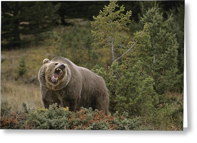 Growling Greeting Cards - G&rgrambo Mm-00010-00513, Grizzly Greeting Card by Rebecca Grambo