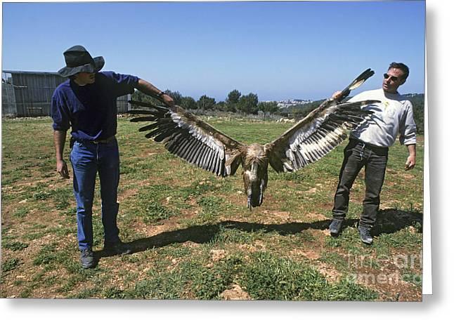 Griffon Greeting Cards - Griffon Vulture Gyps fulvus Greeting Card by Eyal Bartov