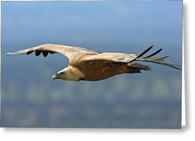 Griffon Vulture In Flight Greeting Card by Bildagentur-online/mcphoto-schaef