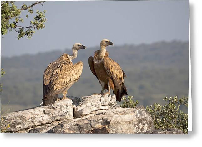 Griffon Vulture Pair Extremadura Spain Greeting Card by Gerard de Hoog
