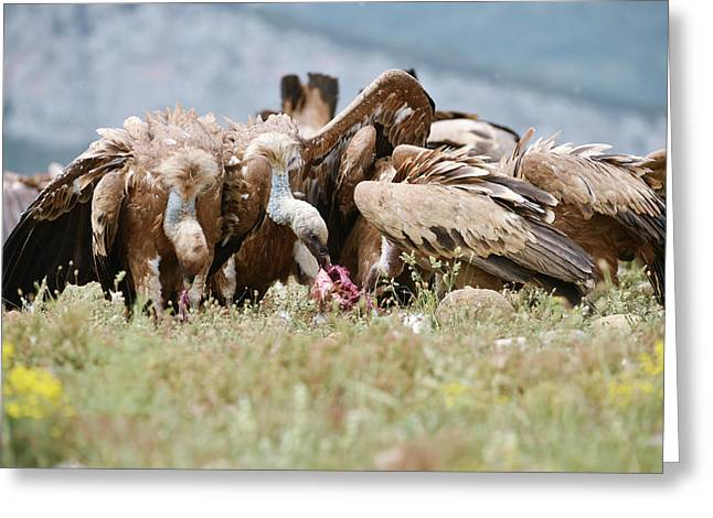 Griffon Vultures Scavenging Greeting Card by Dr P. Marazzi