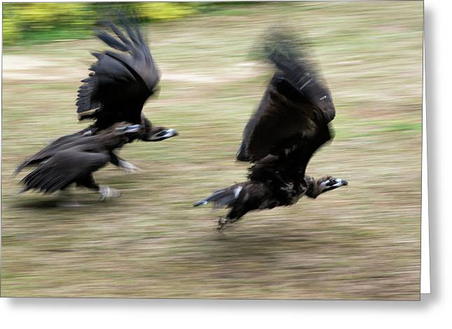 Griffon Vultures Taking Off Greeting Card by Pan Xunbin