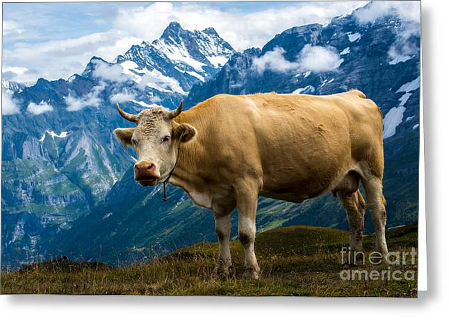 Swiss Photographs Greeting Cards - Grindelwald Cow - Bernese Alps - Switzerland Greeting Card by Gary Whitton