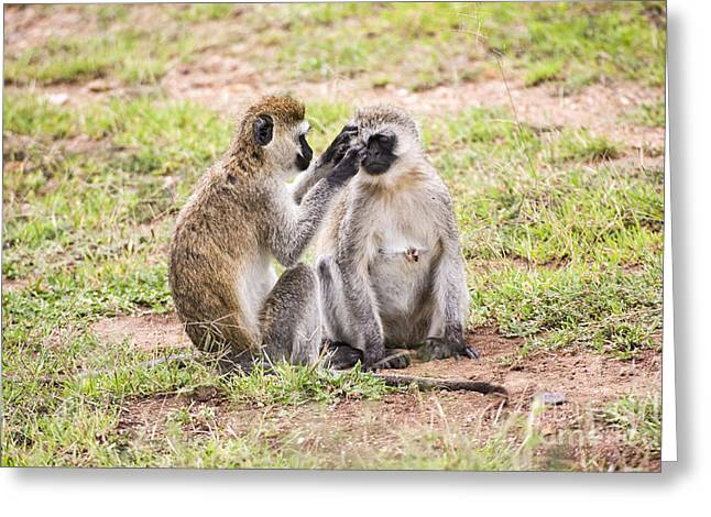 Socialization Greeting Cards - Grivet monkey Chlorocebus aethiops Greeting Card by Eyal Bartov