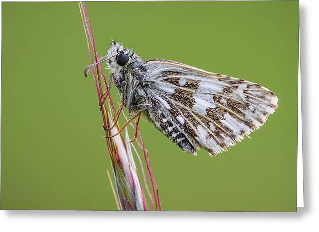 Grizzled Skipper Butterfly Greeting Card by Heath Mcdonald
