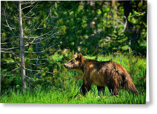 Grand Teton Greeting Cards - Grizzly Bear 760 Greeting Card by Greg Norrell