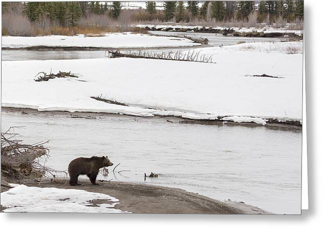 West Fork Greeting Cards - Grizzly Bear Along River Greeting Card by Mike Cavaroc
