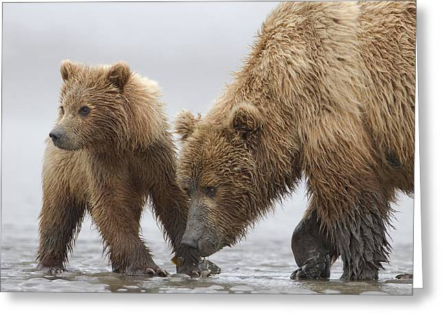 Tidal Photographs Greeting Cards - Grizzly Bear And Cub Digging For Clams Greeting Card by Ingo Arndt