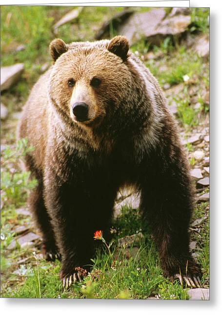 Strength Photographs Greeting Cards - Grizzly Bear Greeting Card by Anonymous