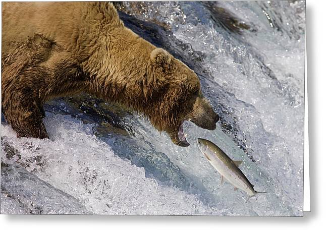 Sockeye Greeting Cards - Grizzly Bear Catching Salmon Greeting Card by Matthias Breiter