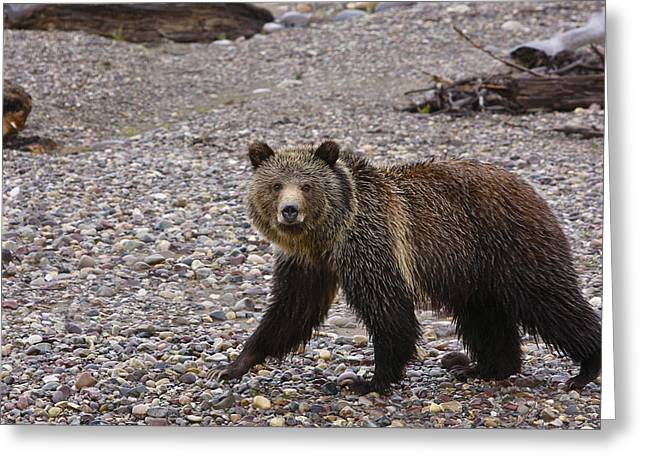 Grizzly Bear Greeting Card by Charles Warren