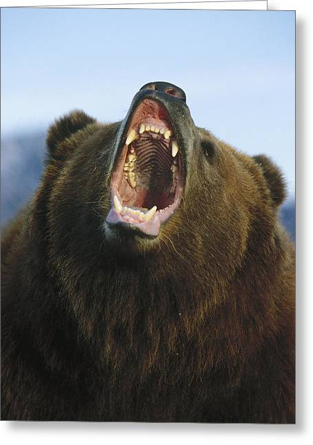 Growling Photographs Greeting Cards - Grizzly Bear Close Up Of Growling Face Greeting Card by Konrad Wothe