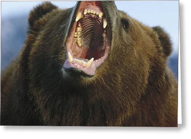 Grizzly Bear Close Up Of Growling Face Greeting Card by Konrad Wothe