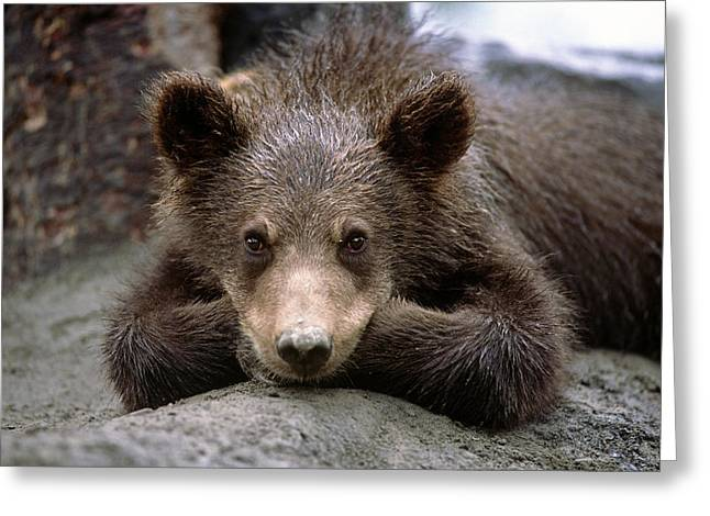 Innocence Greeting Cards - Grizzly Bear Cub Laying On Ground Greeting Card by Doug Lindstrand