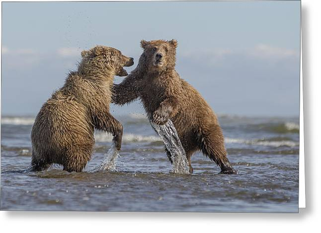 Us Open Photographs Greeting Cards - Grizzly Bear Cubs Play-fighting Lake Greeting Card by Ingo Arndt