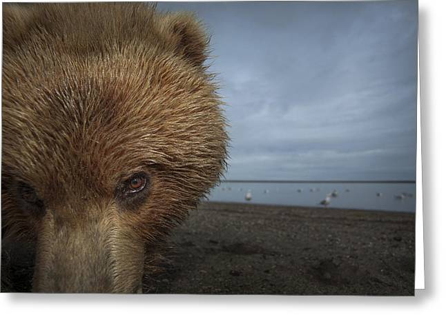 Tidal Photographs Greeting Cards - Grizzly Bear In Tidal Flats Alaska Greeting Card by Ingo Arndt