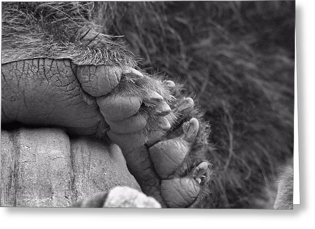 Animal Paw Print Greeting Cards - Grizzly Bear Paw Black And White Greeting Card by Dan Sproul