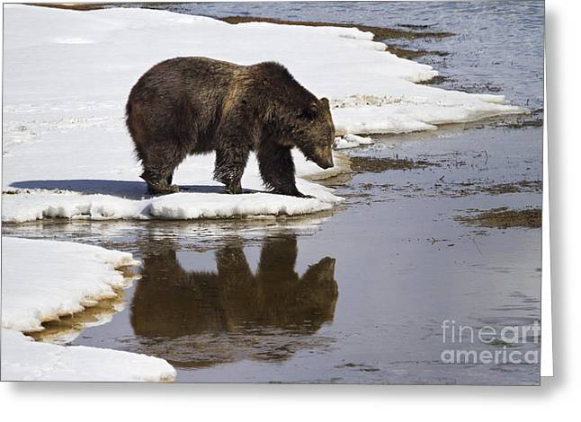 Mud Season Greeting Cards - Grizzly Bear Reflected in Water Greeting Card by Mike Cavaroc