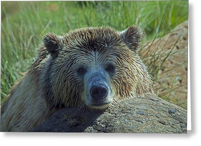 Grizzlies Greeting Cards - Grizzly bear resting Greeting Card by Garry Gay