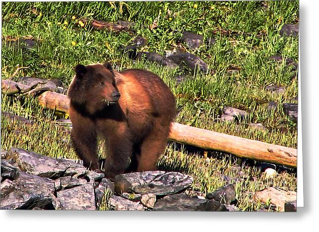 Alaska Panhandle Greeting Cards - Grizzly Bear Greeting Card by Robert Bales