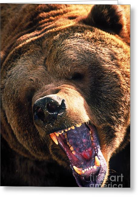 Growling Greeting Cards - Grizzly Bear Snarling Greeting Card by Mark Newman