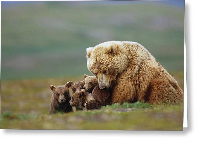 Caring Mother Greeting Cards - Grizzly Bear Sow W4 Young Cubs Greeting Card by Eberhard Brunner