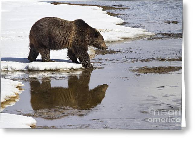 Mud Season Greeting Cards - Grizzly Bear Stepping into Water Greeting Card by Mike Cavaroc