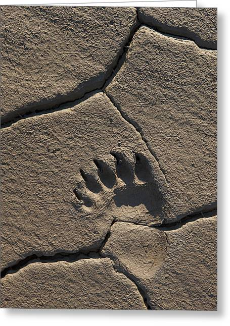 Bear Tracks Greeting Cards - Grizzly Bear Track In Mud Lake Clark Np Greeting Card by Ingo Arndt